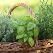 plantas-aromaticas-ec.