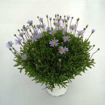 Planta De Exterior - Planta De Temporada - Agatea Maceta 15cm