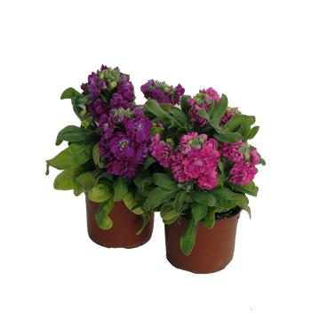 Planta De Exterior - Planta De Temporada - Alheli Maceta 12cm