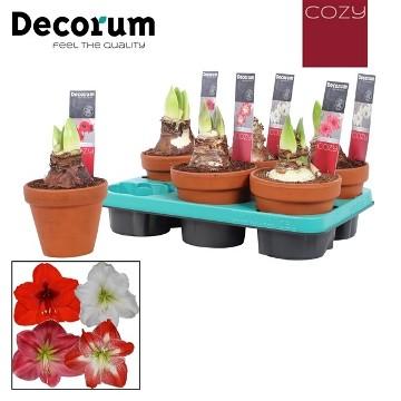 Planta De Exterior - Planta De Temporada - Amarylis Colores Var. Terracota 13cm