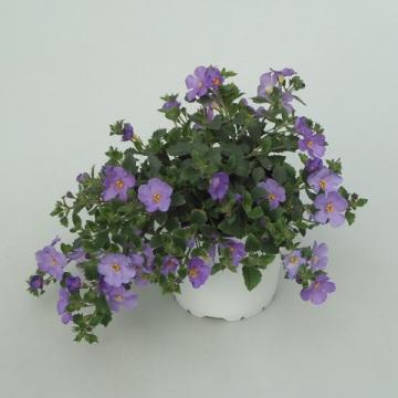 Planta De Exterior - Planta De Temporada - Bacopa  Blana O Azul M14