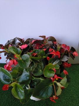 Planta De Exterior - Planta De Temporada - Begonia Benariensis Maceta 17cm