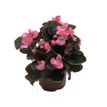 Planta De Exterior - Planta De Temporada - Begonia Exterior Maceta 11cm
