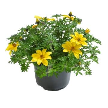Planta De Exterior - Arbustos  Perennes - Bidens Maceta 14cm