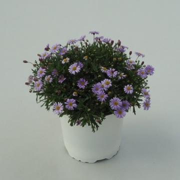 Planta De Exterior - Planta De Temporada - Brachycome Maceta 15cm