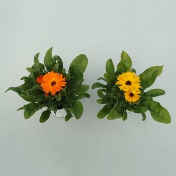 Planta De Exterior - Planta De Temporada - Calendula Maceta 11cm