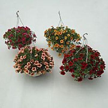 Planta De Exterior - Planta De Temporada - Calibrachoa T15