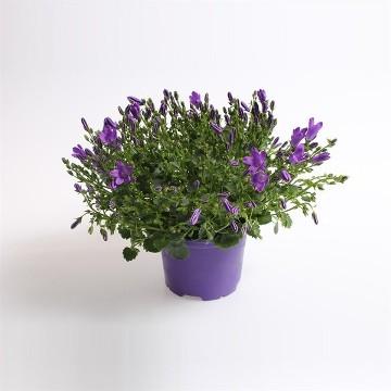 Planta De Exterior - Planta De Temporada - Campanula M10,5 Azul