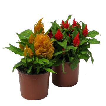 Planta De Exterior - Planta De Temporada - Celosia Plumosa Maceta 15cm