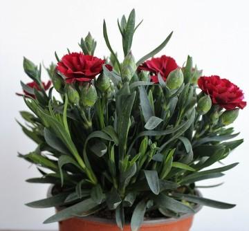 Planta De Exterior - Planta De Temporada - Clavel Caryophyllus Maceta 13cm
