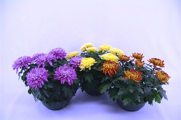 Planta De Exterior - Planta De Temporada - Crisantemo Cosmos Tarrina 23cm