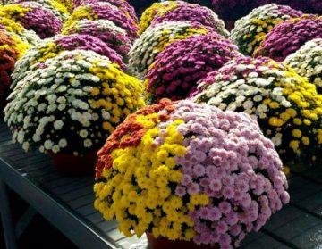 Planta De Exterior - Planta De Temporada - Crisantemo Tricolor Tarrina 20cm Colores Variados