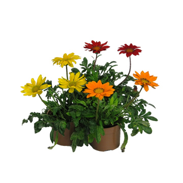 Planta De Exterior - Planta De Temporada - Gazania Maceta 11cm