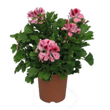Planta De Exterior - Planta De Temporada - Geranio Grandiflora Maceta 15cm