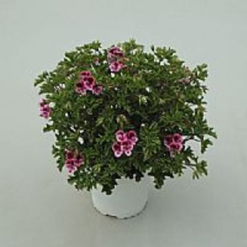 Planta De Exterior - Planta De Temporada - Geranio Randi Maceta 15cm