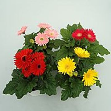 Planta De Interior - Planta Interior Flor - Gerbera Maceta 15cm