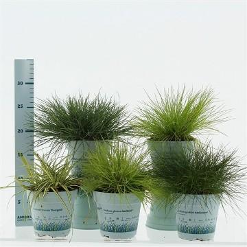 Planta De Exterior - Arbustos  Perennes - Gramineas Mix Maceta 12cm Y Altura 20cm