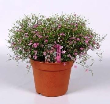 Planta De Exterior - Planta De Temporada - Gypsophila Maceta 13cm