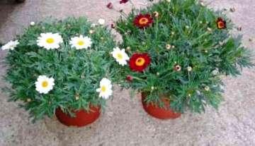 Planta De Exterior - Planta De Temporada - Margarita Maceta 14cm Variada Color