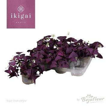 Planta De Interior - Planta Interior Hoja - Oxalis Ikigai Mijke Maceta 12cm