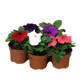 Planta De Exterior - Planta De Temporada - Petunia Maceta 11cm Colores Variados