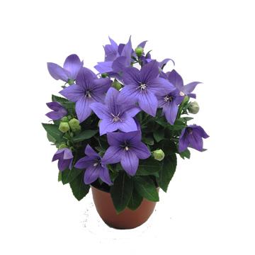Planta De Exterior - Planta De Temporada - Platycodon Varios Colores M14