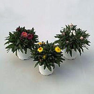 Planta De Exterior - Planta De Temporada - SIEMPREVIVA C17