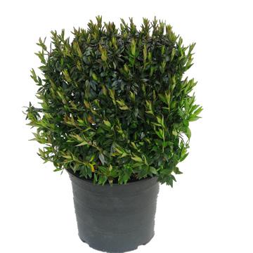 Planta De Exterior - Arbustos  Perennes - Abelia Grandiflora Maceta 2l