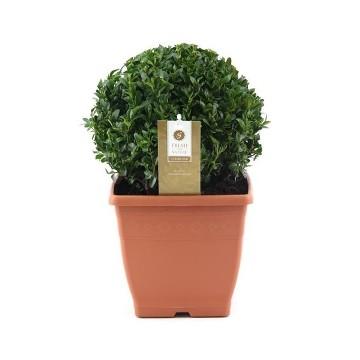 Planta De Exterior - Arbustos  Perennes - Boj De Bola 20cm Diametro Y Maceta De 21cm