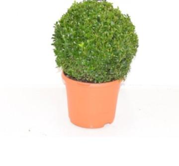 Planta De Exterior - Todas - Boj De Bola 25/28cm Diametro Y Maceta De 23cm