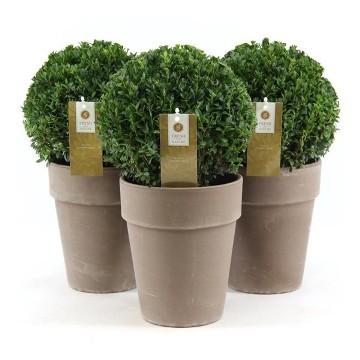 Planta De Exterior - Arbustos  Perennes - Boj De Bola 20cm Y Bola M19cm C/ Macetero