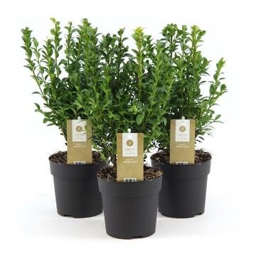 Planta De Exterior - Arbustos  Perennes - Boj Maceta 14cm 25/30cm Alto