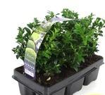 Planta De Exterior - Arbustos  Perennes - Boj Pack 6uds