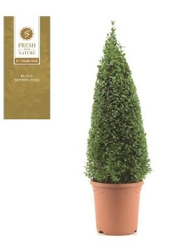 Planta De Exterior - Arbustos  Perennes - Boj Piramidal Altura 55cm Y Maceta De 21cm