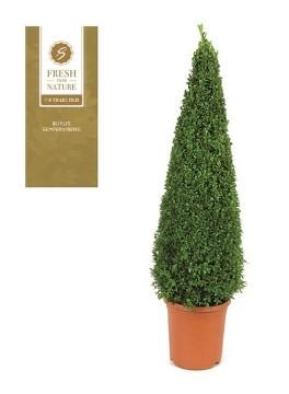 Planta De Exterior - Arbustos  Perennes - Boj Piramidal Altura 90/100 Y Maceta De 31cm