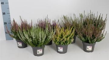 Planta De Exterior - Todas - Calluna Garden Girls Alto 15cm Y Maceta 12cm