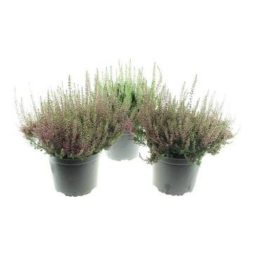 Planta De Exterior - Arbustos  Perennes - Calluna Beauty Ladies Maceta 15cm