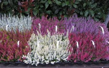 Planta De Exterior - Arbustos  Perennes - Calluna Beauty Ladies Maceta 9cm