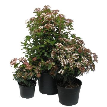 Planta De Exterior - Arbustos  Perennes - Durillo