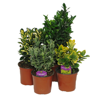 Planta De Exterior - Arbustos  Perennes - Evonimo Japonica