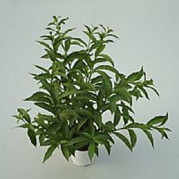 Planta De Exterior - Arbustos  Perennes - GALAN DE NOCHE MACETA 2,5L
