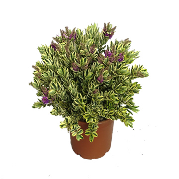 Planta De Exterior - Arbustos  Perennes - Hebe Variegata Maceta 2,5l