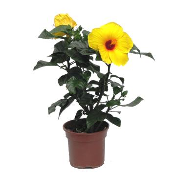 Planta De Exterior - Arbustos  Perennes - HIBISCUS COLECCION C15 COLORES VARIADOS