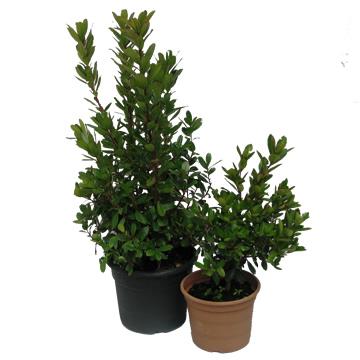 Planta De Exterior - Arbustos  Perennes - Madroño