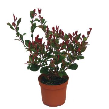 Planta De Exterior - Arbustos  Perennes - Photinia Red Robin Maceta 2,5l 35/45 Altura