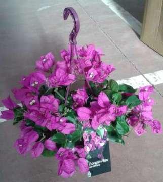 Planta De Exterior - Trepadoras - Buganvilla Colgador C18