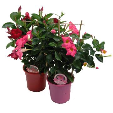 Planta De Exterior - Planta De Temporada - Dipladenia Coleccion M10,5 Maceta Color