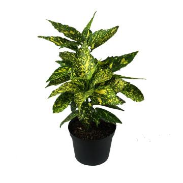 Planta De Exterior - Plantas De Sombra - Aucuba Japonica Maceta 5l 35/40 Altura