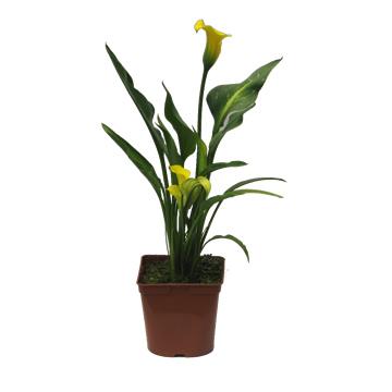 Planta De Exterior - Plantas De Sombra - Cala Maceta 20cm