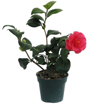 Planta De Exterior - Plantas De Sombra - Camelia Maceta 3l